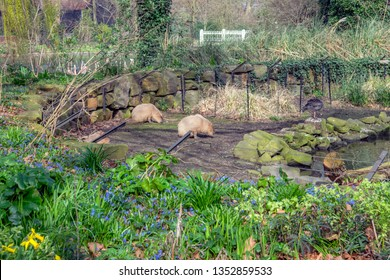 Two Capybara At The Artis Zoo Amsterdam The Netherlands 2018