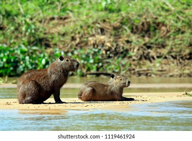 Two Capybaras on River Bank. Pantanal, Brazil