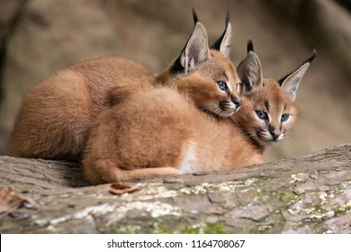 Two caracal huddle together for warmth in the cold weather. Persian lynx cubs lies with his head to himself on a tree trunk. Detail on young african lynx - wild cats native to Africa with fluffy fur