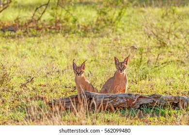 Two caracals, one adult and one young sitting on grass behind a log looking straight at the camera at Samburu National Reserve, Kenya