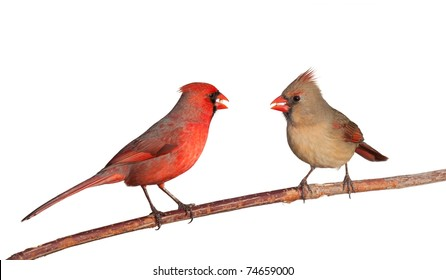 two cardinals together eating a dinner of  safflower seeds; white background