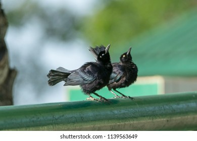 Two Carib Grackles looking up
