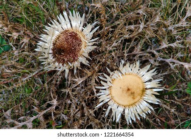 Two carline thistles
