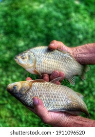 Two carp fish in mans hands