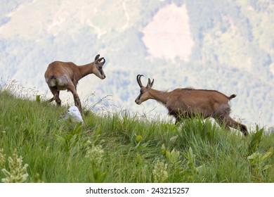 Two Carpathian chamois fighting