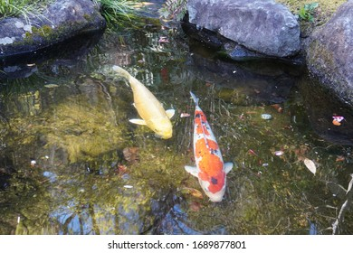Two carps swimming in a Japanese garden