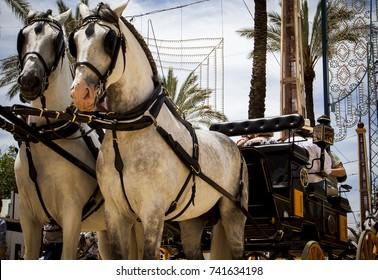 Two Carthusian horses carrying a carriage in Feria del Caballo, in Jerez de la Frontera, Spain
