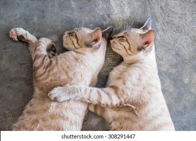 Aegean Cat Pronunciation