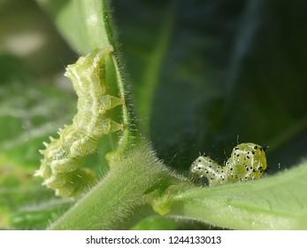 Two caterpillars of cabbage looper moth (Trichoplusia ni) crawling on pumpkin leaf.