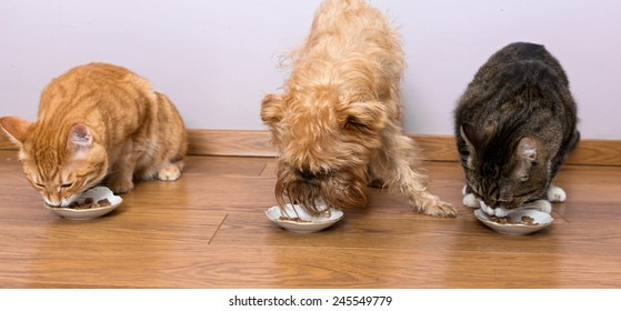 Two cats and a dog breed Griffon eat together with plates