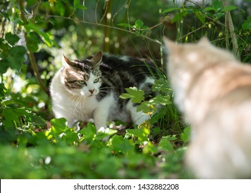 two cats facing each other. tabby white domestic shorthair cat showing aggressive behavior to another cat in nature on a sunny summer day