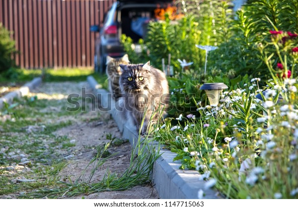 Two cats go one after another along the curb between the flowerbeds in the suburban area. Gray animals walk in the garden