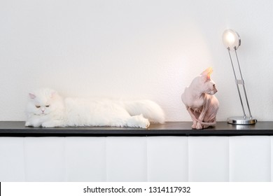 Two cats at home love or hate. White persian furry cat and Hairless cat Don Sphynx breed with pink naked skin. Frenemis domestic pets concept