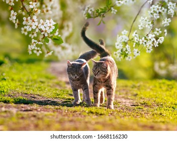 two cats in love they walk side by side in the may Sunny garden surrounded by branches of cherry blossoms