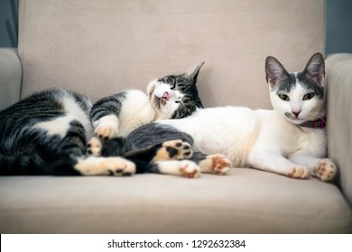 Two cats are lying together in an armchair in the living room. The male cat takes a nap while the female cat watches the movement of the house. Animal life. Pet Lover.