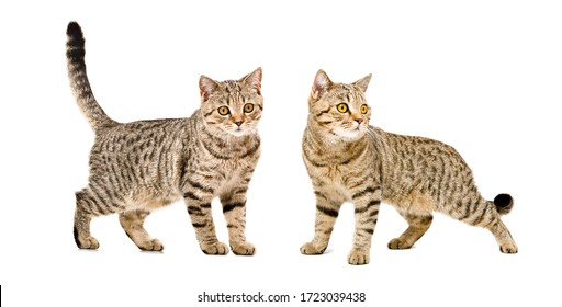Two cats Scottish Straight standing together isolated on white background