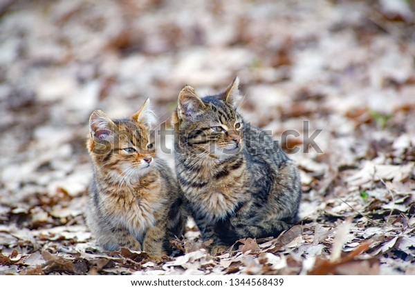 Two Cats Sit Together On Dry Stock Photo (Edit Now) 1344568439