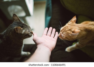 Two cats smelling the hand of a man, Spain.
