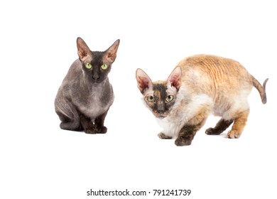 The two cats Sphinx isolated on