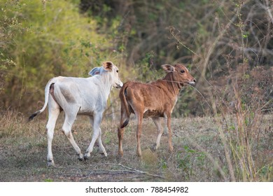 Two cattle calves jogging and looking back