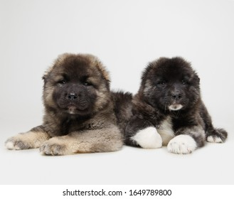 Two caucasian shepherd puppies on a white background