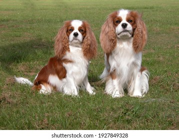 Two Cavalier King Charles Spaniels on grass