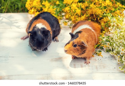Two cavies with flowers outdoors in summer