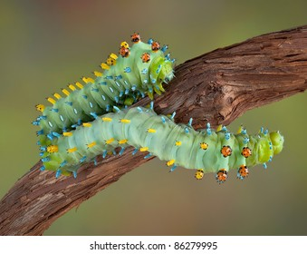 Two cecropia caterpillars are crawling on a vine.