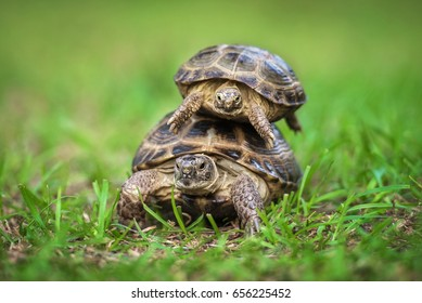 Two central asian tortoises