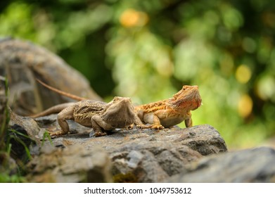 Two central bearded dragon on the stone in nature with bookeh background. Australian lizard