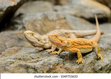 Two central bearded dragon on the stone. Australian lizard