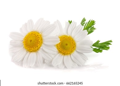 two chamomile or daisies with leaves isolated on white background
