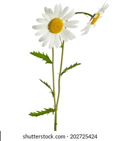 two chamomile flower isolated on white background