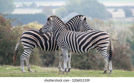 Two chapman zebras facing in opposite directions, photographed at Port Lympne Safari Park, Ashford, Kent UK.
