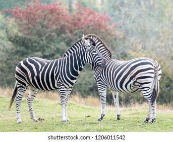 Two chapman zebras facing in opposite directions, photographed at Port Lympne Safari Park, Ashford, Kent UK.