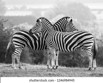 Two chapman zebras fcing in opposite directions, photographed in monochrome at Port Lympne Safari Park, Ashford, Kent UK