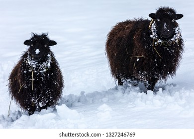 Two cheeky black Ouessant Sheep in a snowy field.  These sheep are well adapted for harsh weather conditions and looking cheeky for the camera!