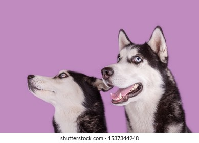 Two cheerful husky dogs muzzle banner on magenta background. Concept of dog emotion
