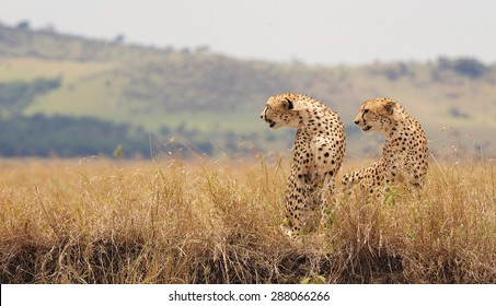 Two cheetah brothers looking to the left in the long grass of the Masai Mara