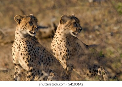 Two cheetah brothers looking over their shoulders