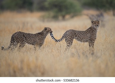 Two cheetah brothers on hunt in Central Kalahari Game reserve, Botswana