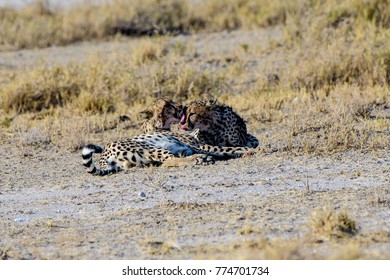 Two Cheetah brothers preening each other