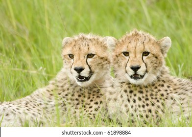 two cheetah cubs huddled up together alert in Kenya's Masai Mara