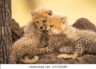Two cheetah cubs lie together looking down