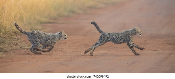 Two Cheetah cubs playing early morning in a dirt road