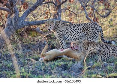 Two cheetah eating puku