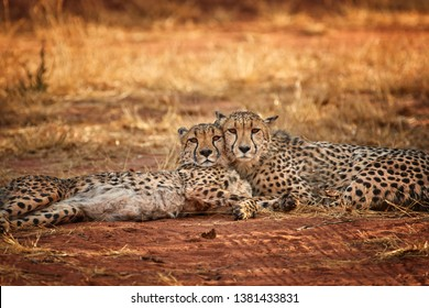 Two cheetahs, Acinonyx jubatus, couple lying on the ground with heads  touching together and staring at the photographer. Ground level photography. Typical Etosha dry environment. Wildlife in Namibia.