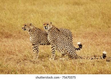 Two cheetahs (Acinonyx jubatus) on the Masai Mara National Reserve safari in southwestern Kenya.