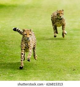 Two Cheetahs Running on Green Grass
