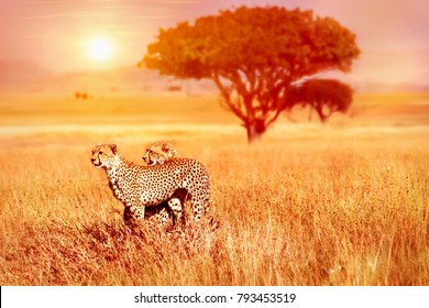 Two cheetahs in the Serengeti National Park against sunset background.
